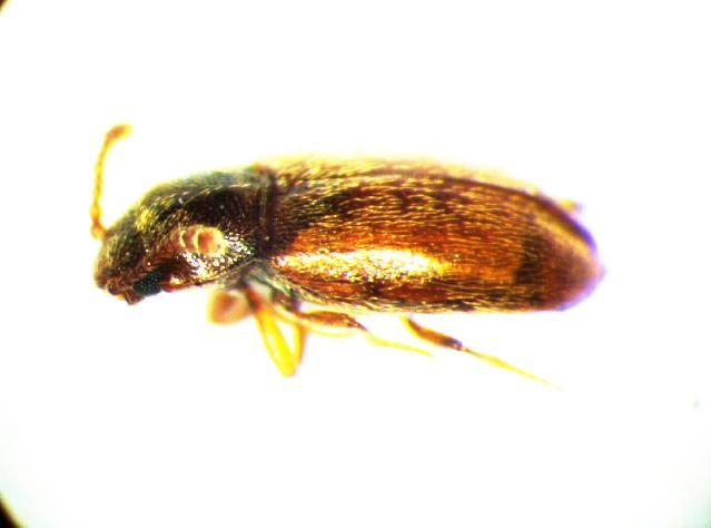 Image of <i>Cryptophagus scutellatus</i> Newman 1834