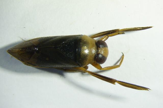 Image of Notonectinae
