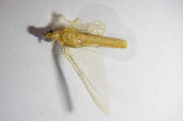 Image of <i>Potamanthus luteus</i> (Linnaeus 1767)