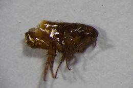 Image of Ctenocephalides
