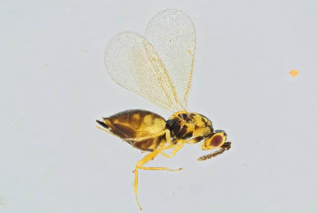 Image of Sigmophora
