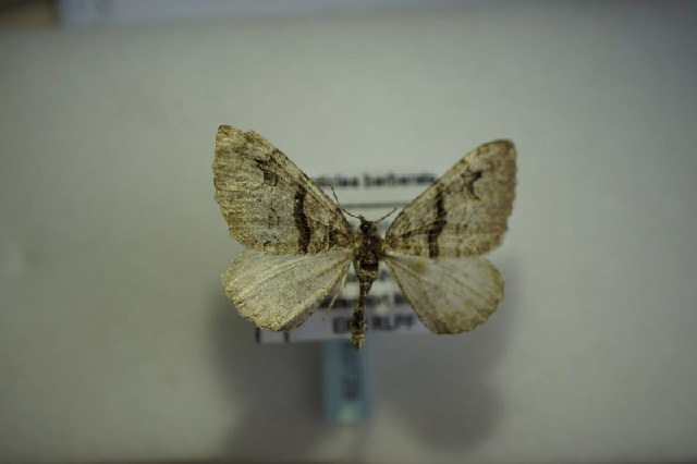 Image of <i>Pareulype berberata</i> Schiffermüller 1775