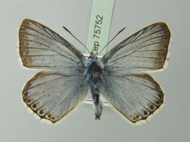 Image of <i>Lysandra coridon</i>