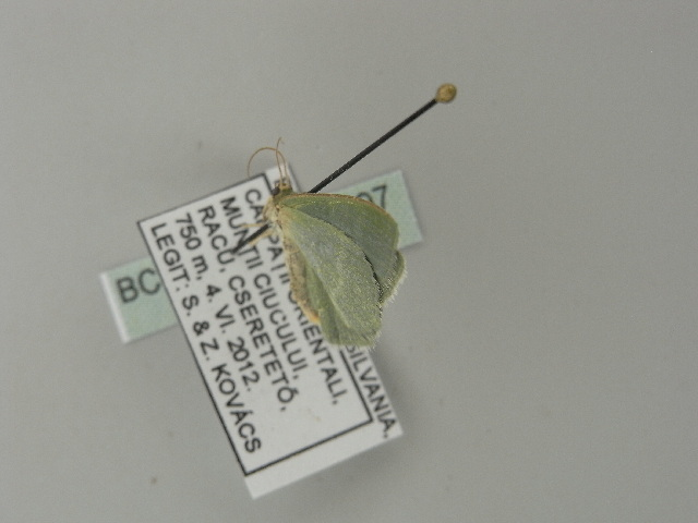 Image of southern grass emerald