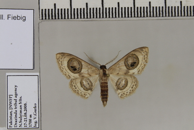 Image of <i>Problepsis cinerea</i>
