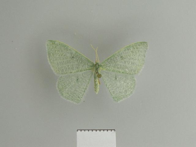 Image of <i>Prasinocyma hailei</i> Debauche 1937