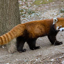 Image of Red Pandas