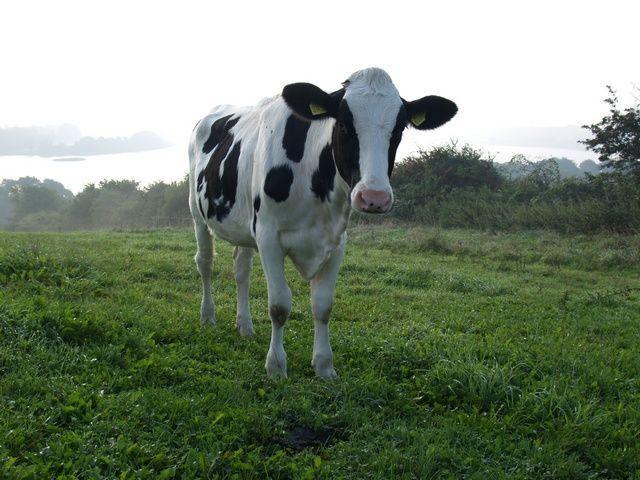 539.gbma cow006 1357747575 jpg