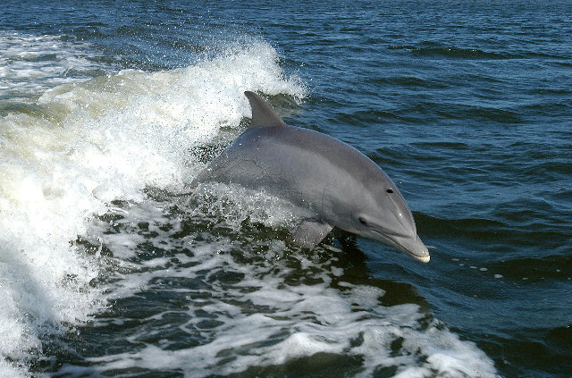 Image of Bottlenosed Dolphin