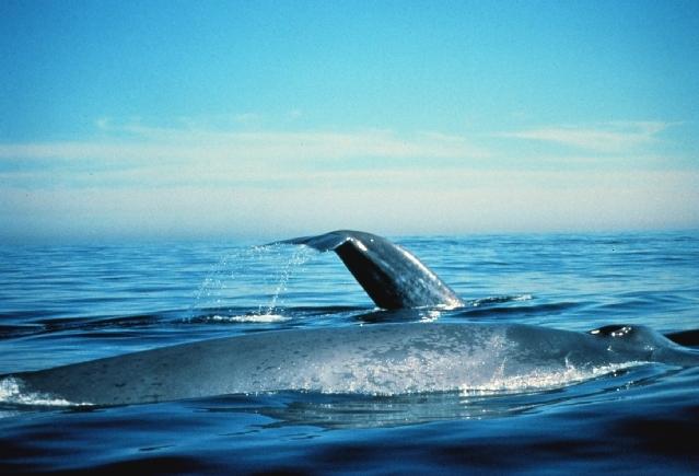539.gbma whale 1393450759 jpg