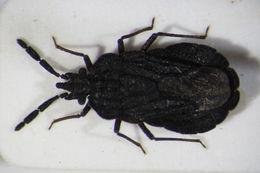 Image of <i>Aradus pallescens</i> Herrich-Schaeffer 1840
