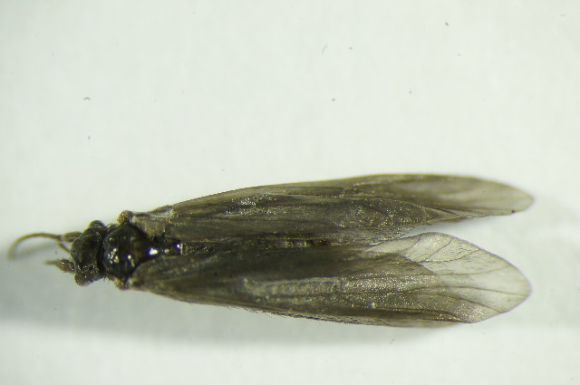 Image of <i>Ernodes vicinus</i> (Mc Lachlan 1879)
