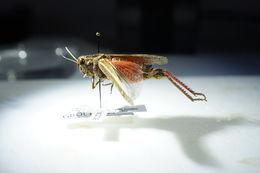 Image of <i>Calliptamus italicus</i> (Linnaeus 1758)