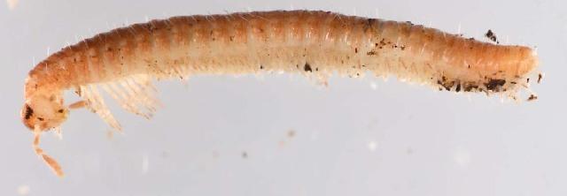 Image of <i>Hylebainosoma nontronensis</i> Mauriès & Kime 1999