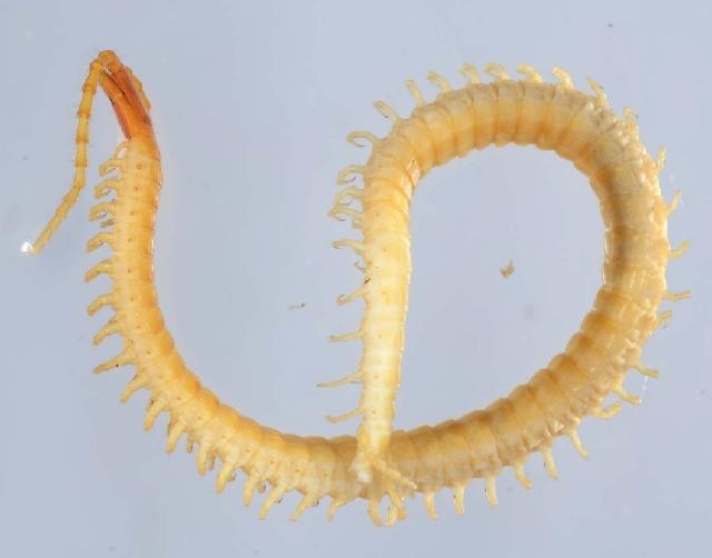 Image of Geophilus