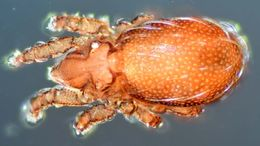 Image of Nanhermanniidae