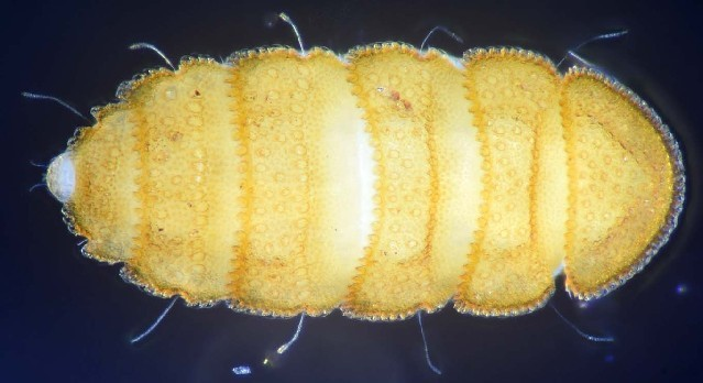 Image of Eurypauropodidae