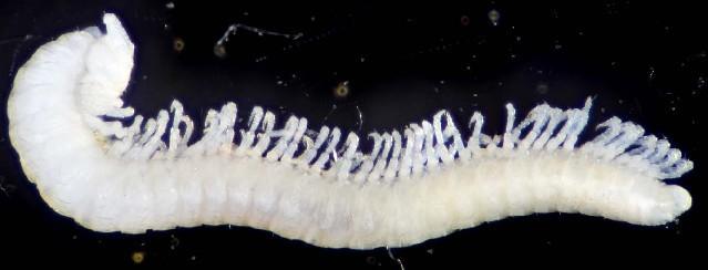 Image of Brachychaeteuma