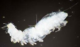 Image of Pauropodidae
