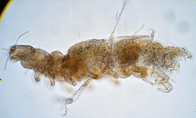 Image of Allopauropus