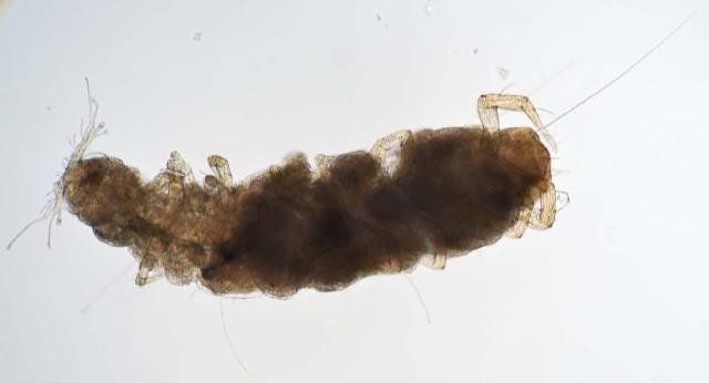 Image of Tetramerocerata