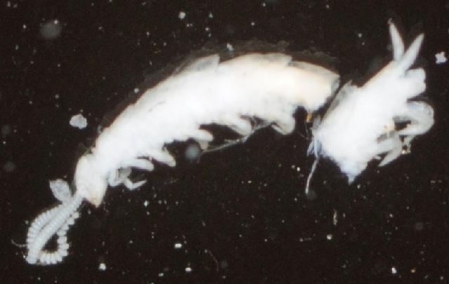Image of <i>Symphyla order</i> incertae sedis