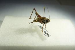Image of <i>Metrioptera roeselii</i>