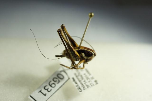 Image of Eupholidoptera