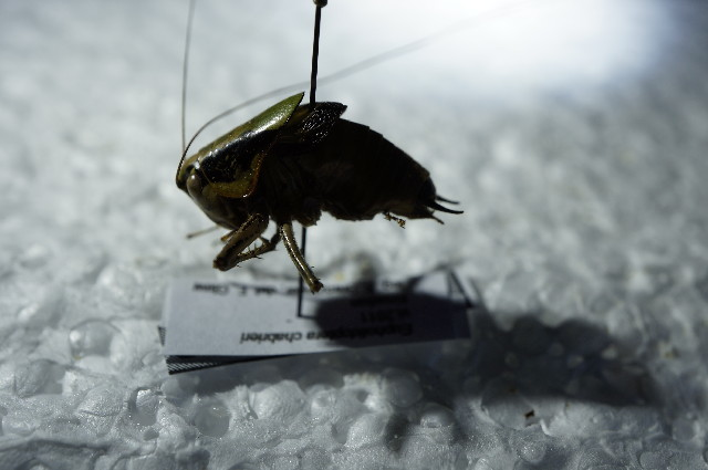 Image of <i>Eupholidoptera schmidti</i> (Fieber 1861)