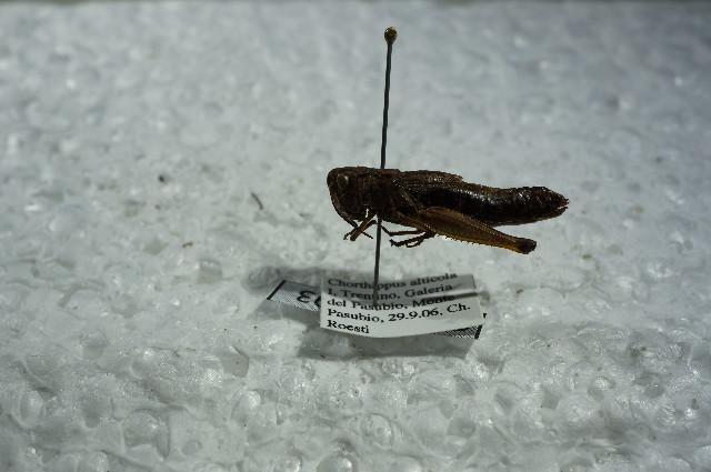 Image of <i>Chorthippus</i> (<i>Glyptobothrus</i>) <i>alticola</i> Ramme 1921