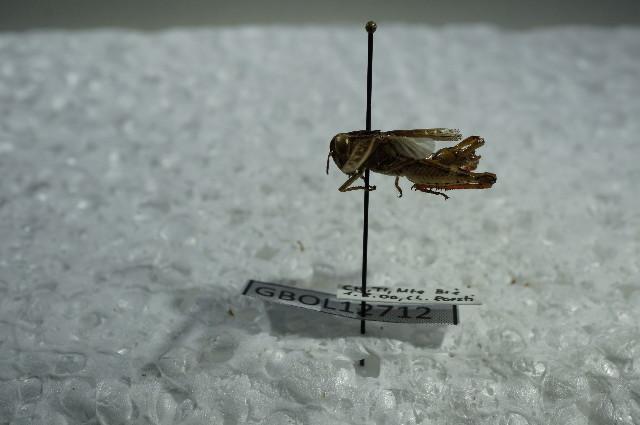 Image of <i>Calliptamus siciliae</i> Ramme 1927