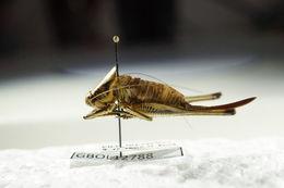 Image of <i>Eupholidoptera chabrieri</i> (Charpentier 1825)