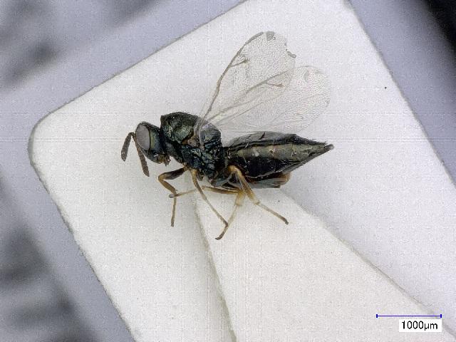 Image of <i>Pteromalus cardui</i> (Erdos 1953) Erdos 1953