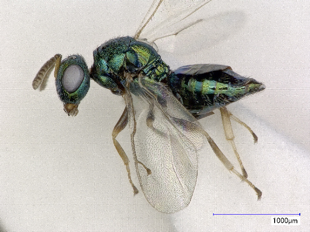 Image of Pteromalus