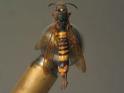 Image of <i>Tremex fuscicornis</i> (Fabricius 1787) Fabricius 1787