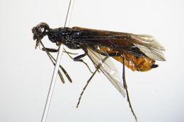 Image of <i>Calameuta pygmaea</i> (Poda 1761) Poda 1761