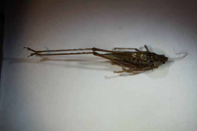 Image of Heath Bush-cricket