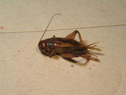 Image of Jamaican Field Cricket
