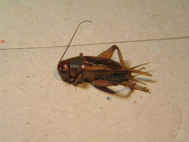 Image of Jamaican Field Cricket