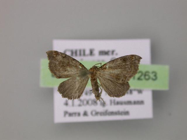 Image of Euphyia