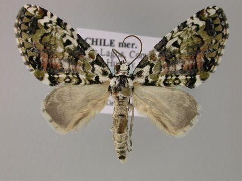 Image of <i>Triptiloides esmeralda</i>