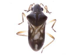 Image of Microveliinae