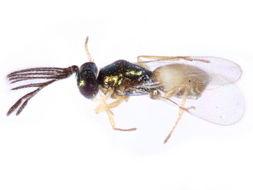 Image de Tetracneminae