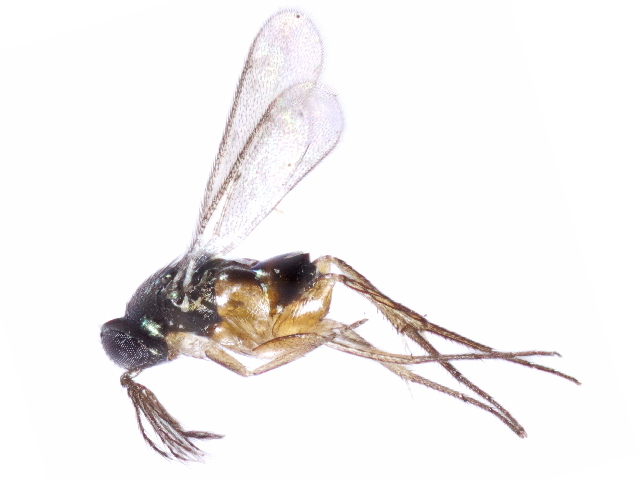 Image of Elasmus