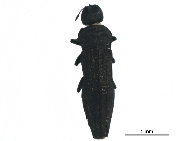 Image of Aphanisticus