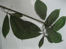 Image of Beaumontia