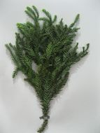 Image of araucaria