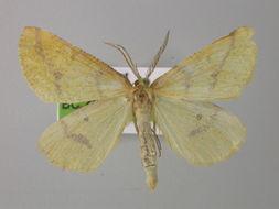 Image of <i>Aspitates <i>ochrearia</i></i> ssp. ochrearia