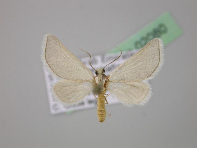 Image of <i>Lithostege fissurata</i> ssp. <i>inanis</i> Prout L. B. 1941