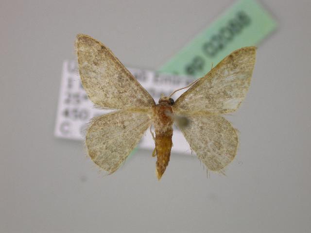Image of <i>Neromia integrata</i> Hausmann 2009